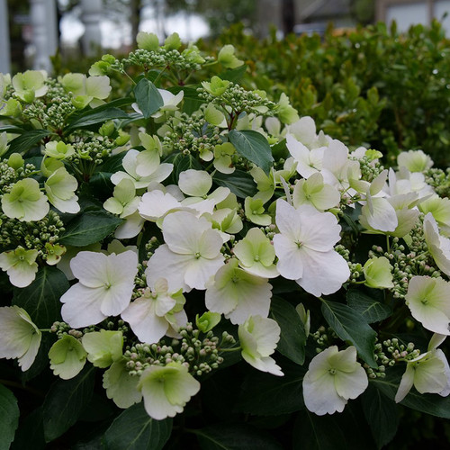 Fairytrail Bride™ Hydrangea flowers is blooming