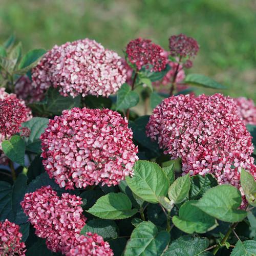 Invincibelle Garnetta® Hydrangea flowering