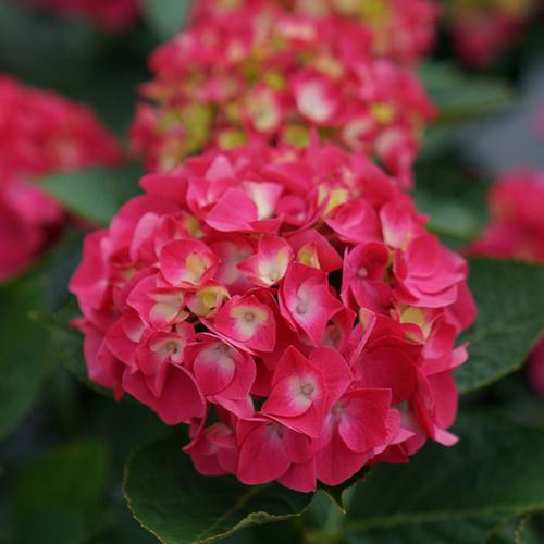 Wee Bit Giddy® Hydrangea flower closeup