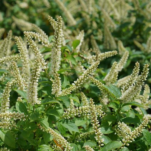 Fizzy Mizzy™ Sweetspire foliage and flowers