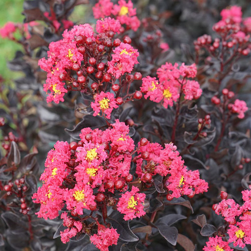 Center Stage® Pink Crape Myrtle flowers closeup