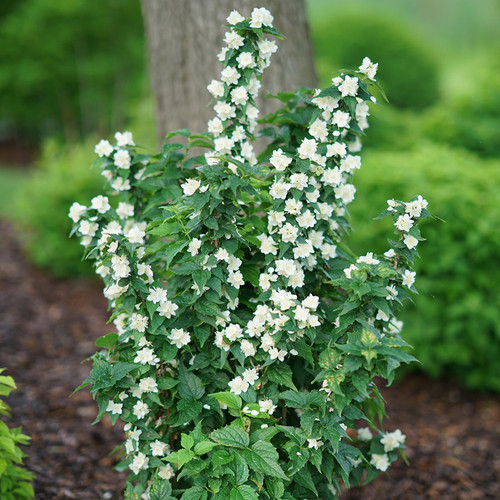 Illuminati Tower® Mock Orange Flowers and foliage