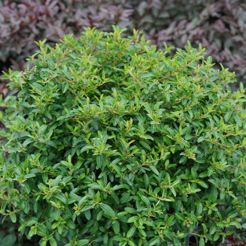 Juke Box® Pyracomeles shrub