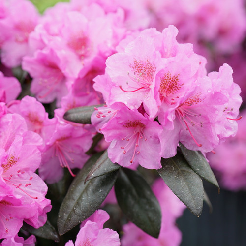 Black Hat® Rhododendron Flower Petals and Leaves Close Up