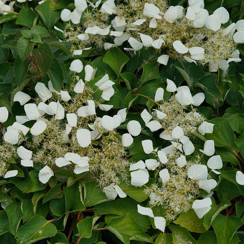 Flirty Girl™ False Hydrangea-Vine flowers