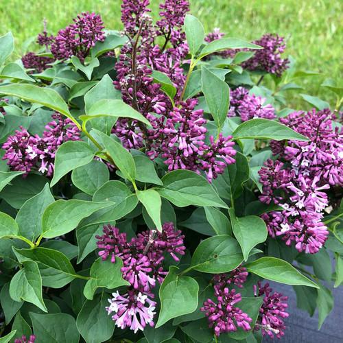 Baby Kim® Lilac flowers