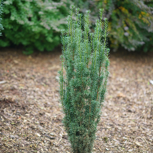 Young Stonehenge Skinny® Yew Evergreen Plant