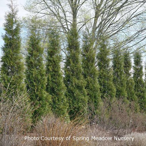 Full Speed A Hedge Arborvitae Row Of Shrubs