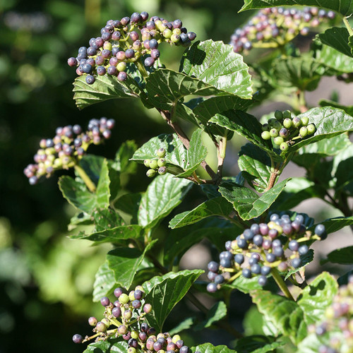 Glitters & Glows™ Viburnum berries and foliage in the sunlight