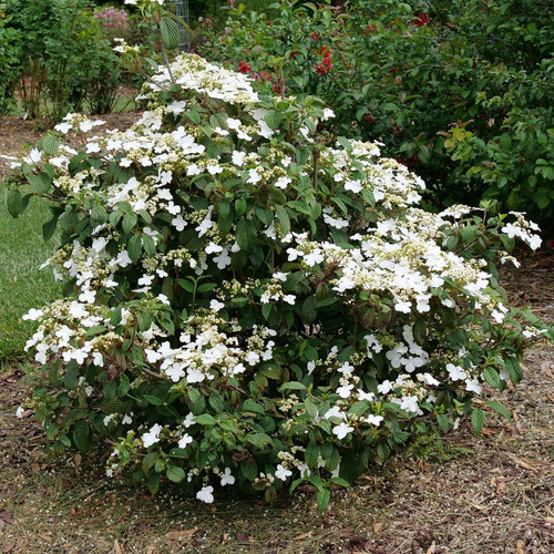Steady Eddy™ Viburnum Shrub Blooming