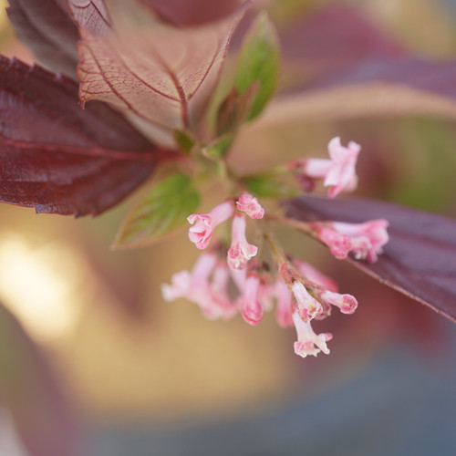 Sweet Talker® Viburnum Flower Petals and Leaves