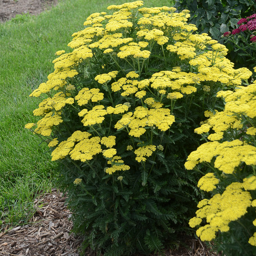 Upright Firefly™ Sunshine Yarrow plant blooming