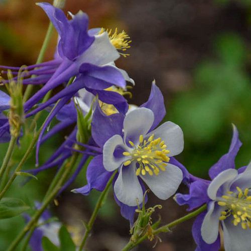 Songbird Blue Jay Columbine Flowers and Foliage Close Up