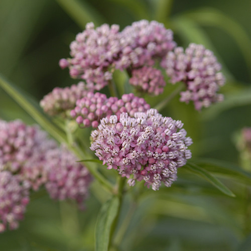 Cinderella Swamp Milkweed flowers close up