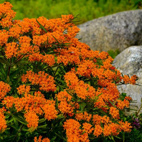 Butterfly Milkweed flower blooms