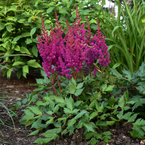 Vision in Red Astilbe Flowers and foliage
