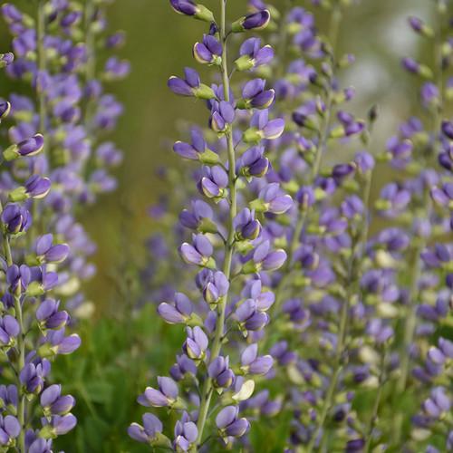 Decadence® Deluxe 'Blue Bubbly' False Indigo flowers and foliage