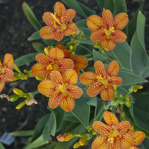 Freckle Face Blackberry Lily Plant Blooming