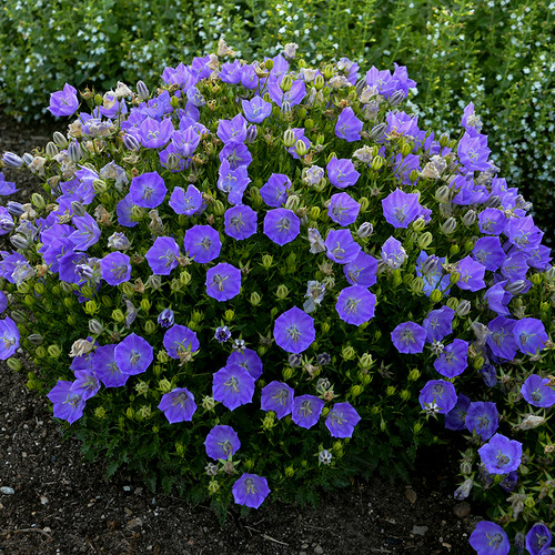 Rapido Blue Carpathian Bellflower Plant Flowering