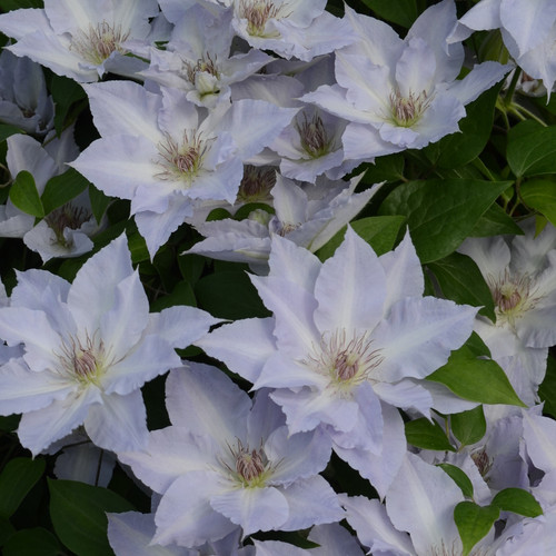 Boulevard Tranquilite Clematis Blooming