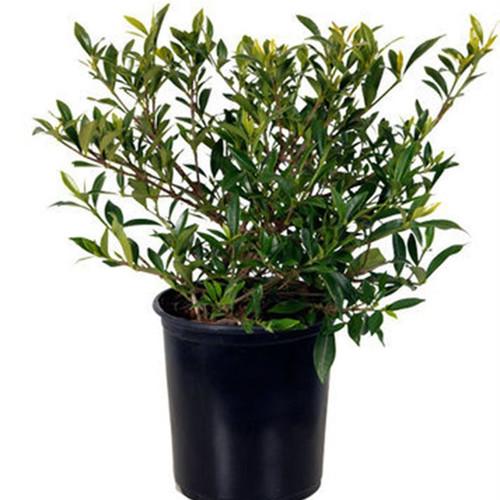 Radicans Gardenia Cropped