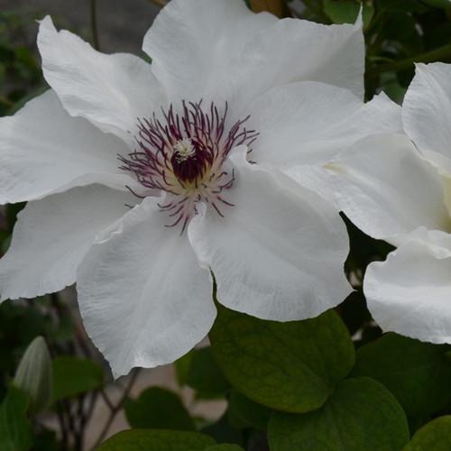 White Boulevard® Ninon Clematis Flowers