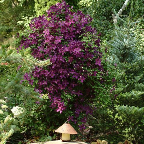 Large Niobe Clematis Vine Growing Tall