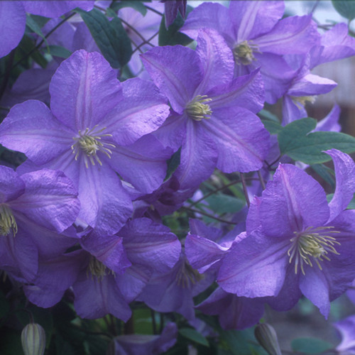 Prince Charles Clematis Flowers Close Up