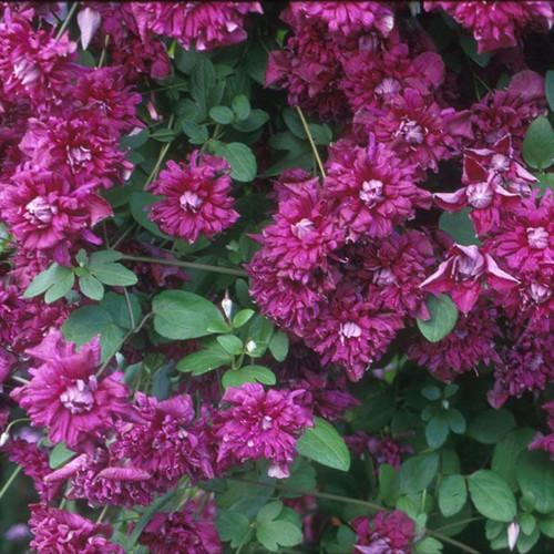 VITICELLA, PURPUREA PLENA ELEGANS Clematis Blooming