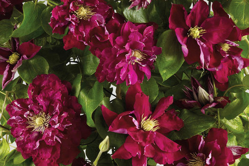 Regal Charmaine Clematis Flowers