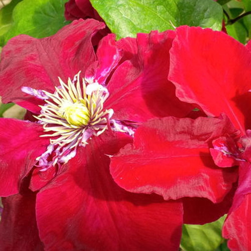 Regal Charmaine Clematis Blooming in the Sunlight