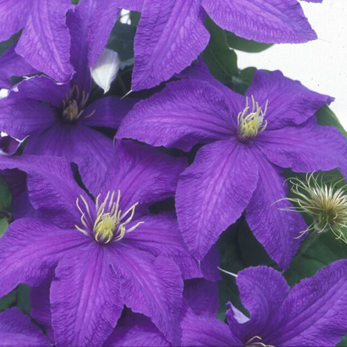 Rhapsody Clematis Flowers and Seed Heads