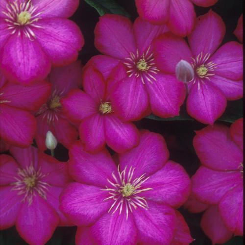 Ville De Lyon Clematis Flowers