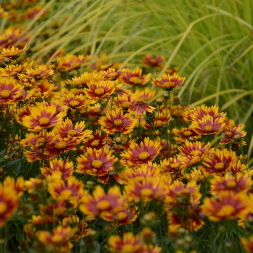 Li'l Bang™ Daybreak Tickseed flowers close up