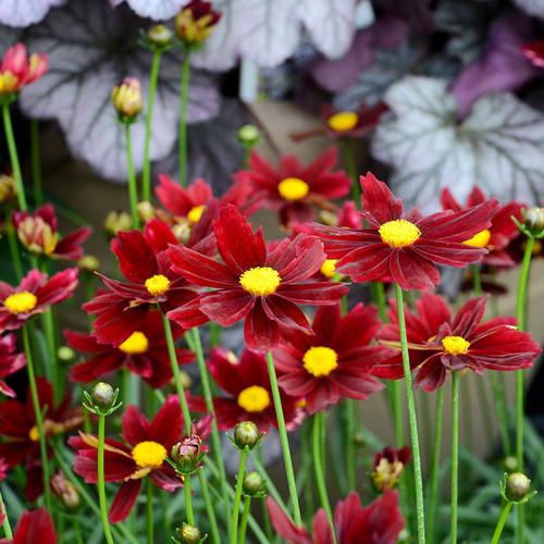 Li'l Bang™ Red Elf Tickseed flowers