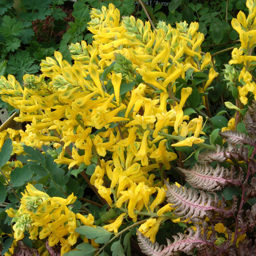 Canary Feathers Corydalis flowers