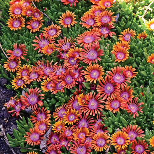 Fire Spinner® Hardy Ice Plant flowers blooms