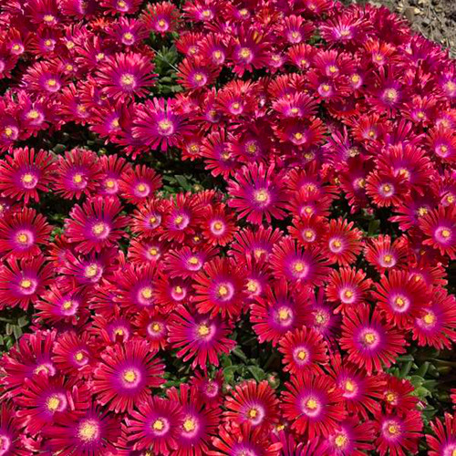 Granita® Raspberry® Hardy Ice Plant flowers close up