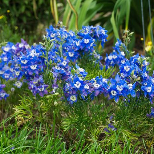 Summer Cloud Dwarf Delphinium Flowers And Foliage