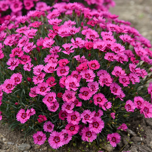 Paint the Town Fancy Pinks Dianthus Plants Blooming