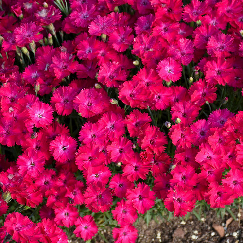 Paint the Town Red Pinks Dianthus Flowers is bloom