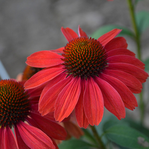 Color Coded Frankly Scarlet Coneflower Flowers Close Up