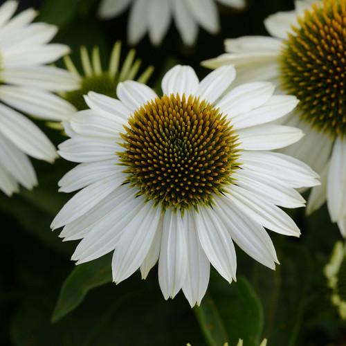 Sombrero® Blanco Coneflower Plant Blooming