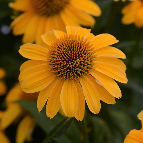 Sombrero® Granada Gold Coneflower Close Up