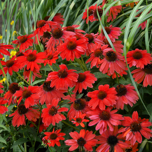Sombrero® Salsa Red Coneflower Plants Blooming
