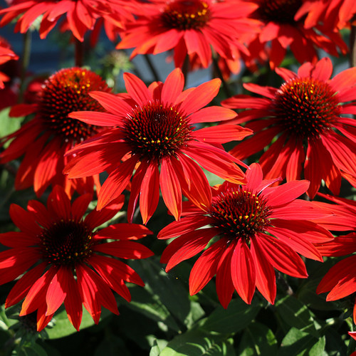 Sombrero® Sangrita Coneflower Plants Flowering in the Sunlight