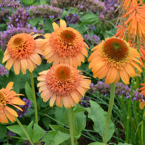 Supreme™ Cantaloupe Coneflower with leaves