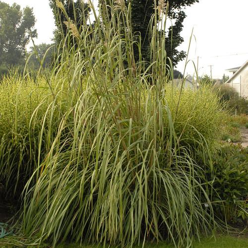 Tall Ravenna Grass Plant Foliage
