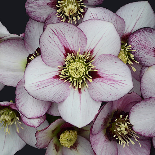 Honeymoon® French Kiss Lenten Rose Flower Close up