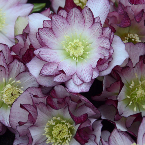 Wedding Party® Blushing Bridesmaid Lenten Rose Flowers Close Up